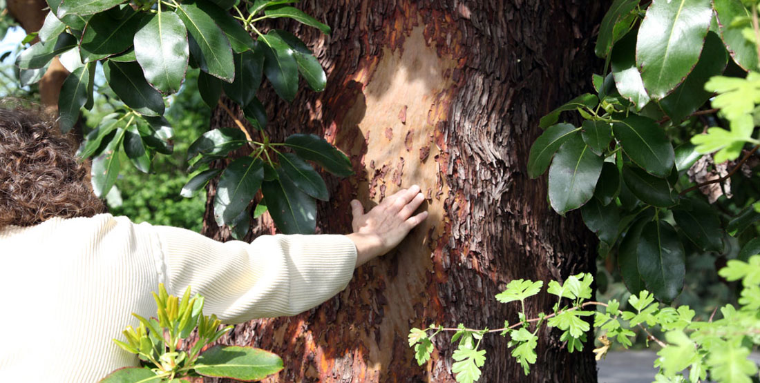 A person touches a madrone tree