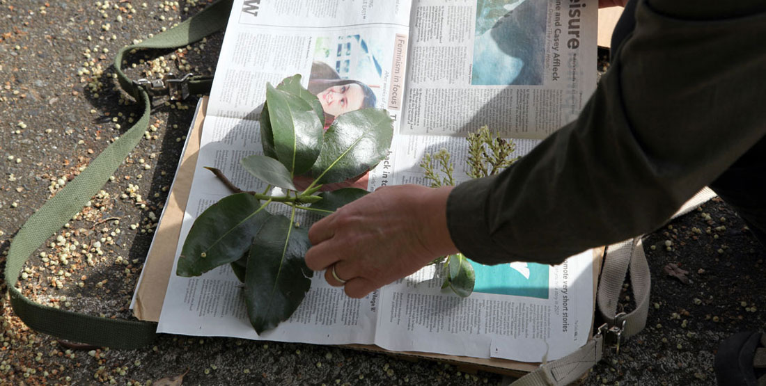 A pair of hands put leaves from a madrone tree into newspaper for pressing and preservation