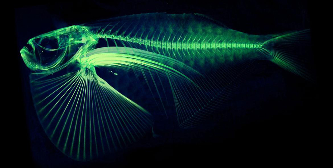 A CT scan of the spotfin hatchetfish