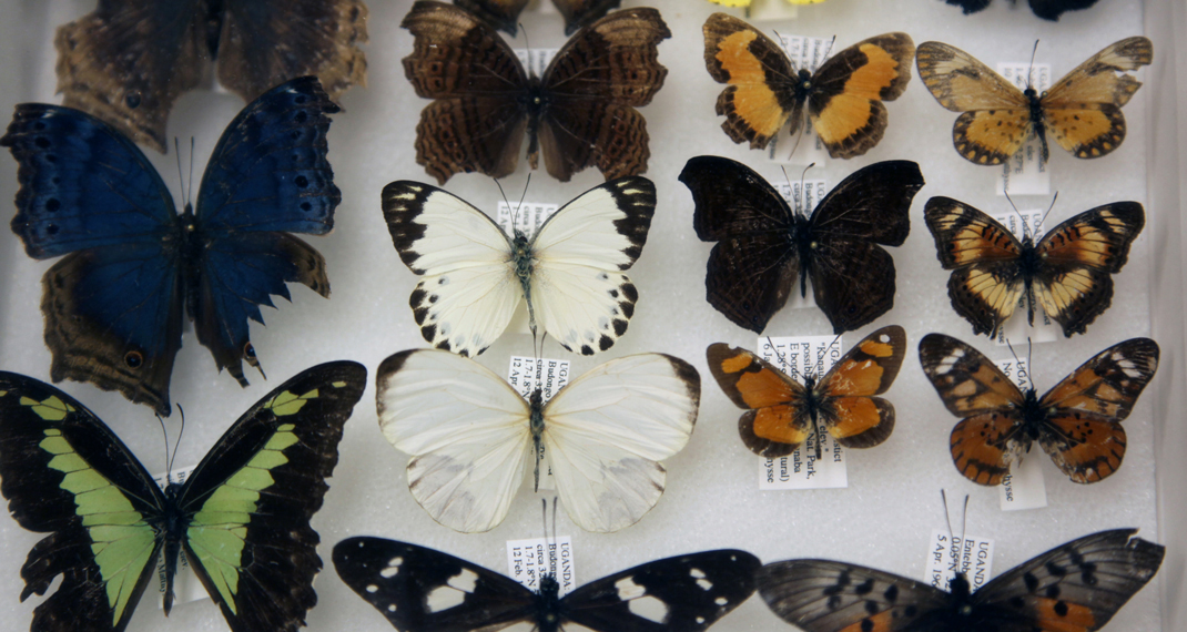 pinned butterfly specimens
