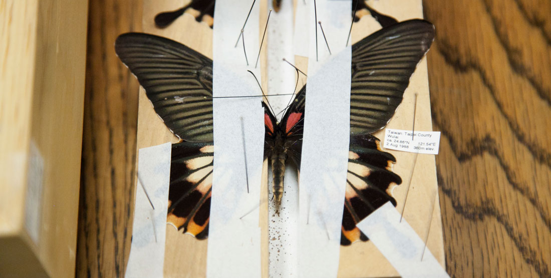 butterfly pinned on a board to dry