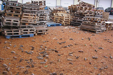 A large scattering of pine cones on the ground and piles of wooden pallets