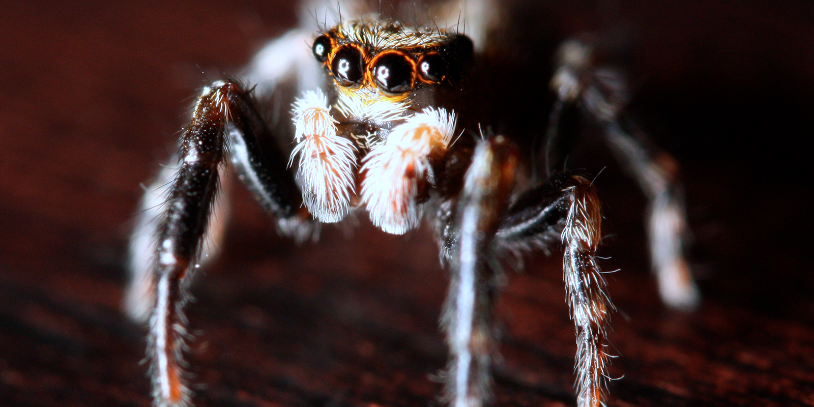 A close up view of the front of a live male spider
