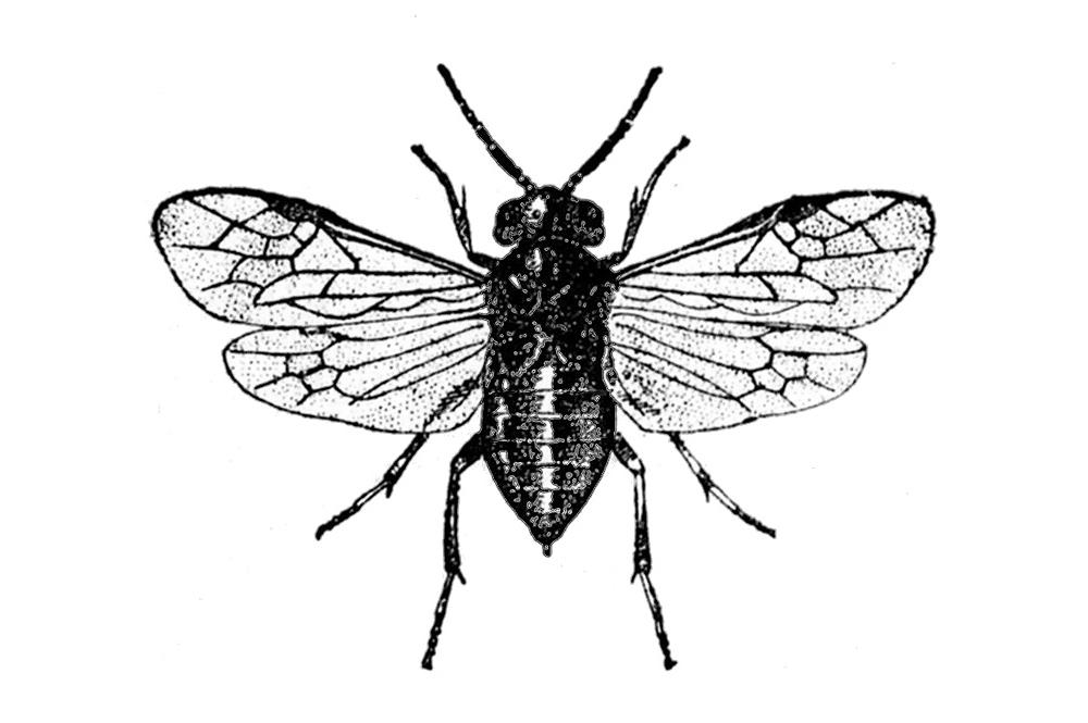 Illustration: Caliroa cerasi, a sawfly