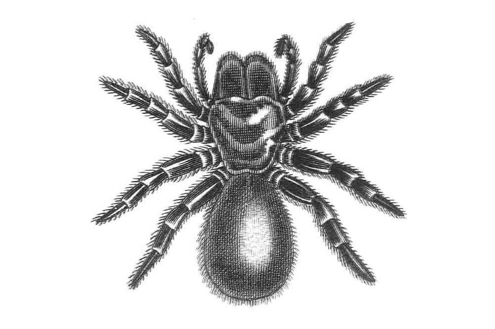 illustration of a spider, Missulena occatoria (Australia)