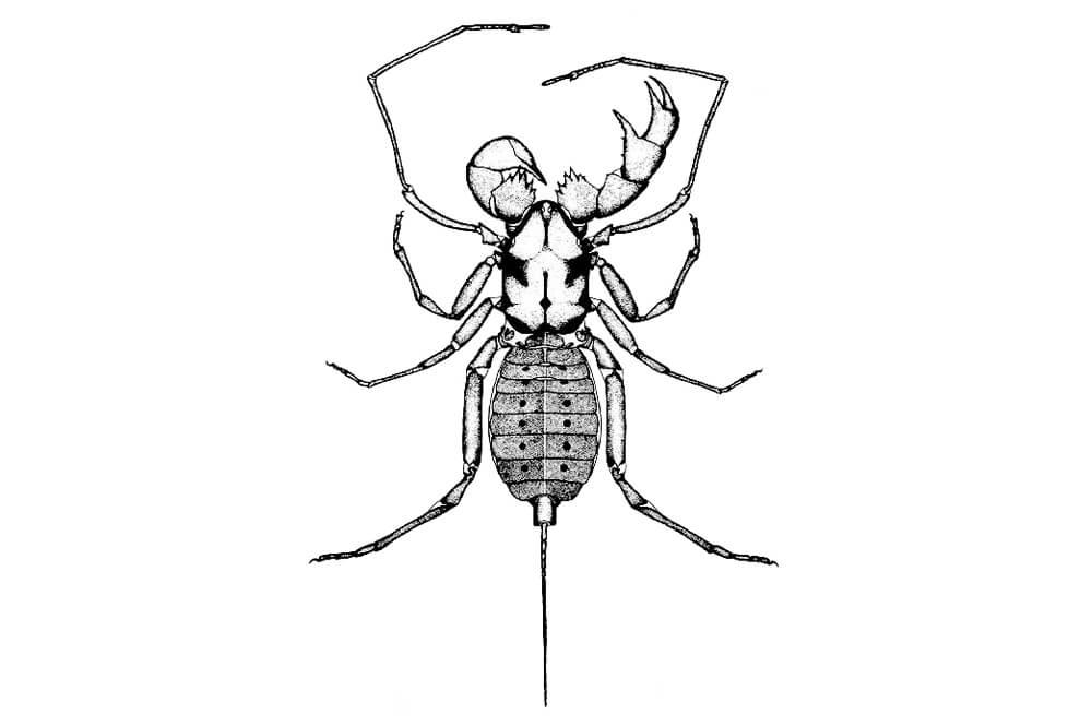 illustration of a whipscorpion, Abaliella dicranotarsalis