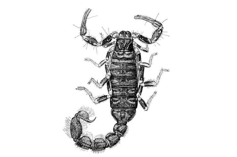 Illustrations of a scorpion, Charmus indicus (India)