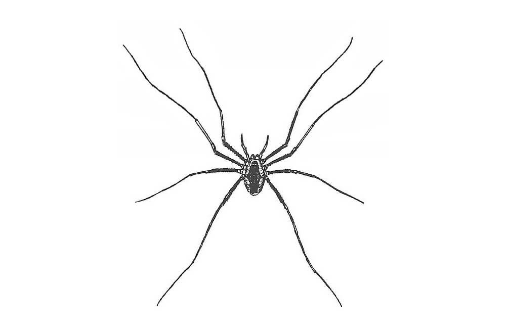 illustration of A harvestman, Phalangium opilio (worldwide)