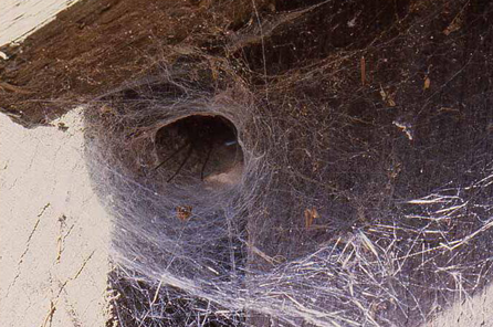 photo of a funnel web