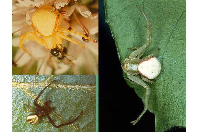 a collage of three spider photos each showing distinct color variation from one another