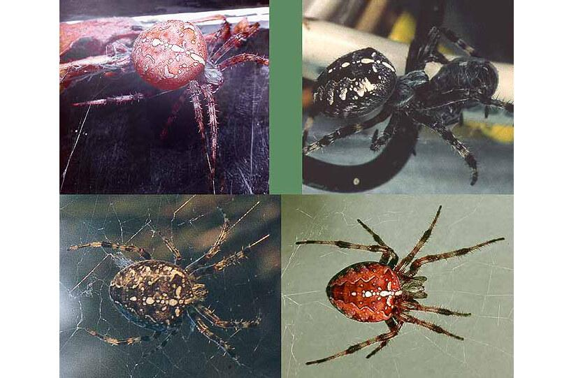 four spider images each showing very distinct color variation