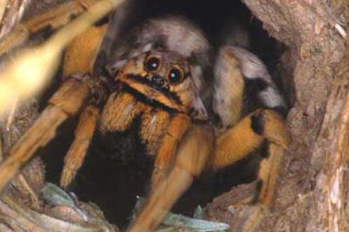 A brown and black tarantula in a hole