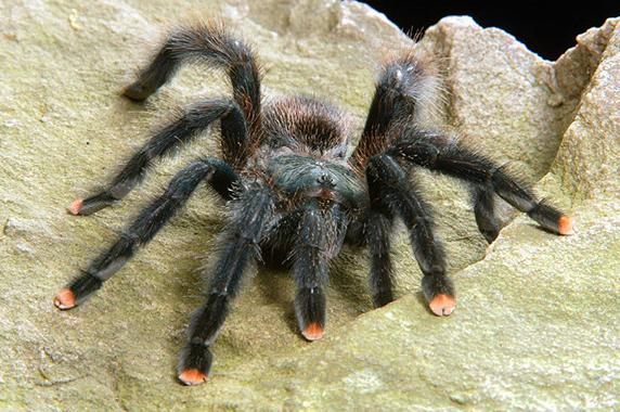 A tarantula that is black with pink tips of its legs