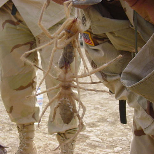 """Myth: Too many """"camel spider"""" tall tales 
