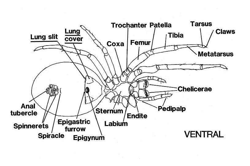 illustration of a spider's anatomy