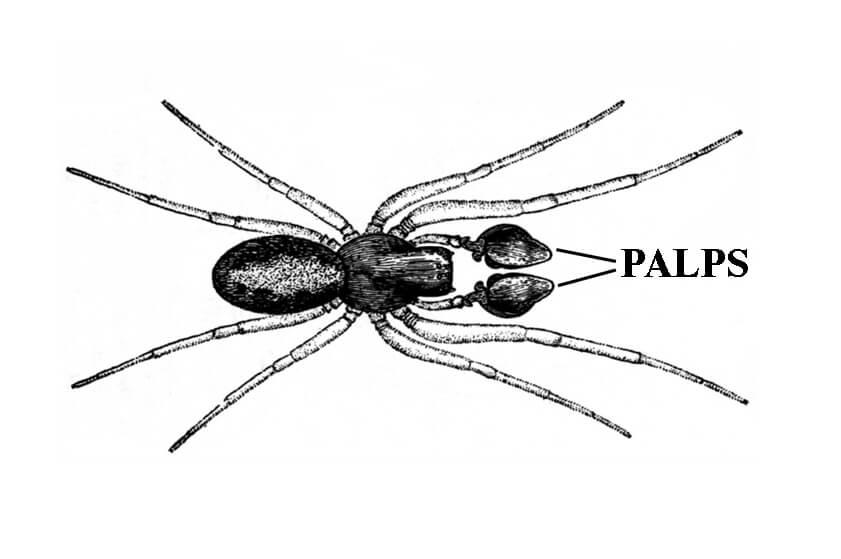 hobo spider diagram showing palps