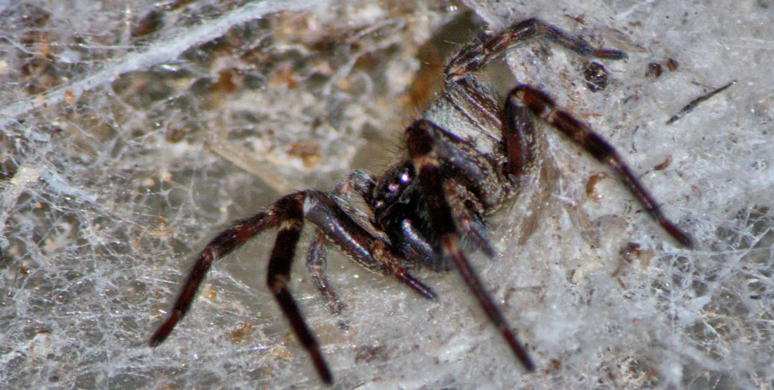 A female black spider in the middle of a cone shaped web