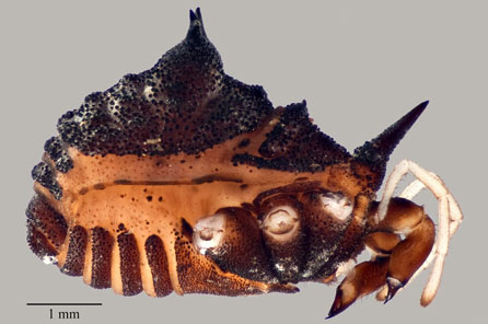 The side view of a spider body with spiny horns protruding from its body and brown markings