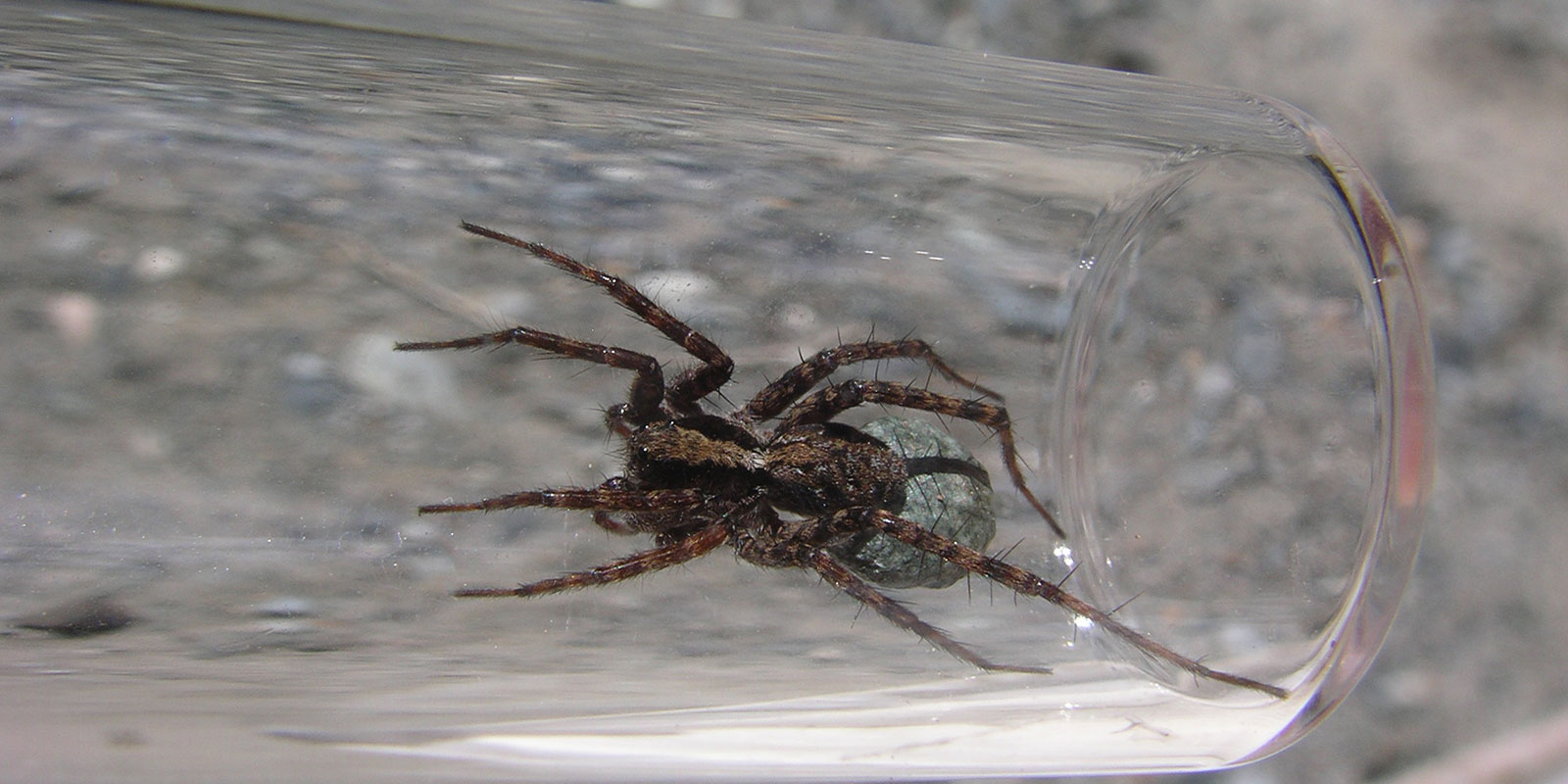 A large wolf spider in a clear glass container