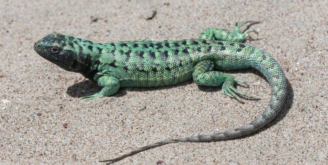 A green striped lizard sitting on the sand