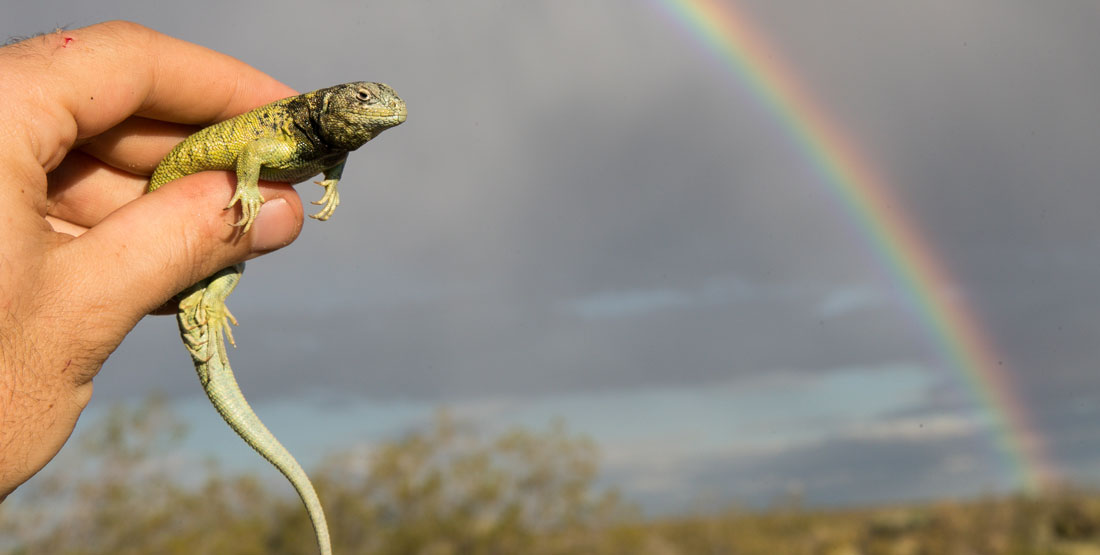 A close up of a hand holding a lizard with a view of a rainbow in the background