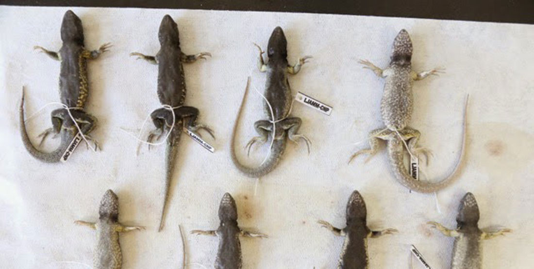 Eight specimens laid out on a cloth and appearing to show different patterns on their bellies
