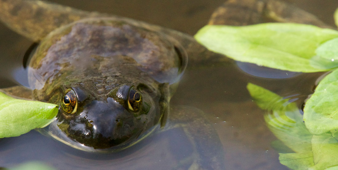 A greenish brown frog sits partially submerged in water with its eyes showing above water