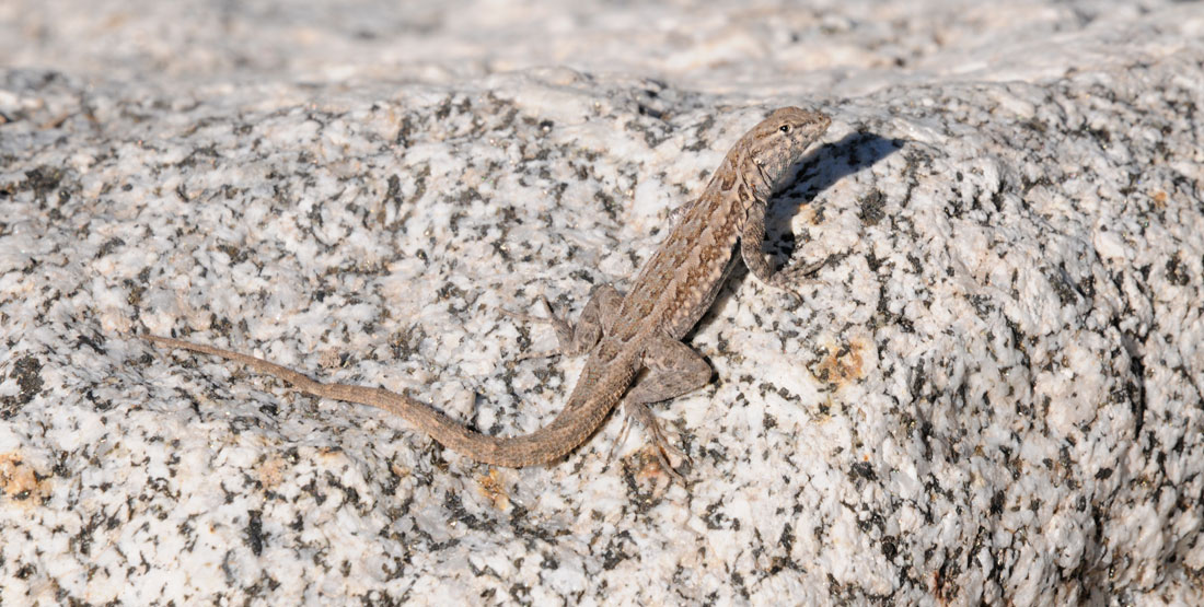 A common side-blotched lizard climbs a white and black rock in the sun