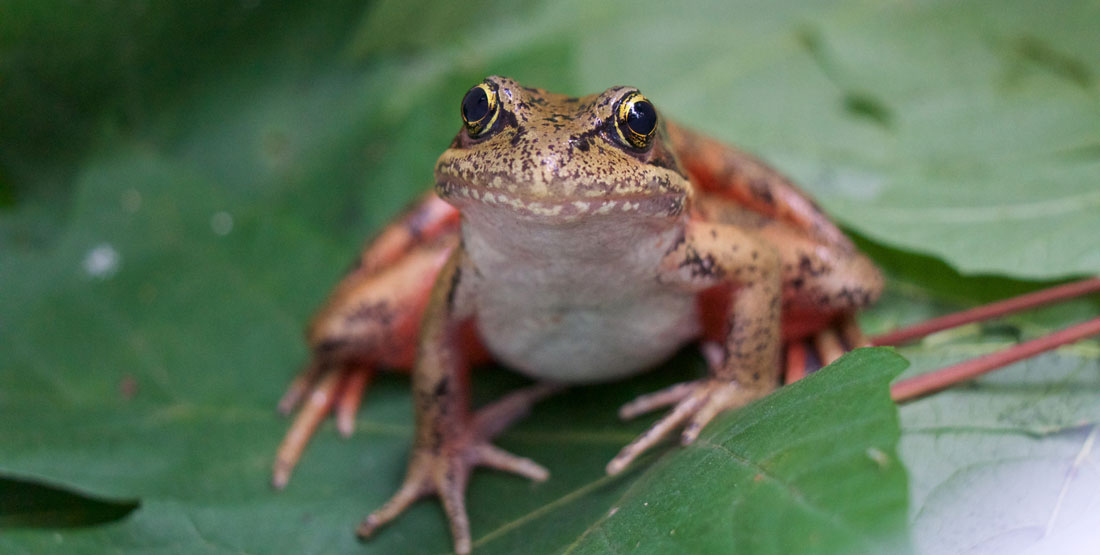 A close up of a northern red-legged frog sitting on a green leaf