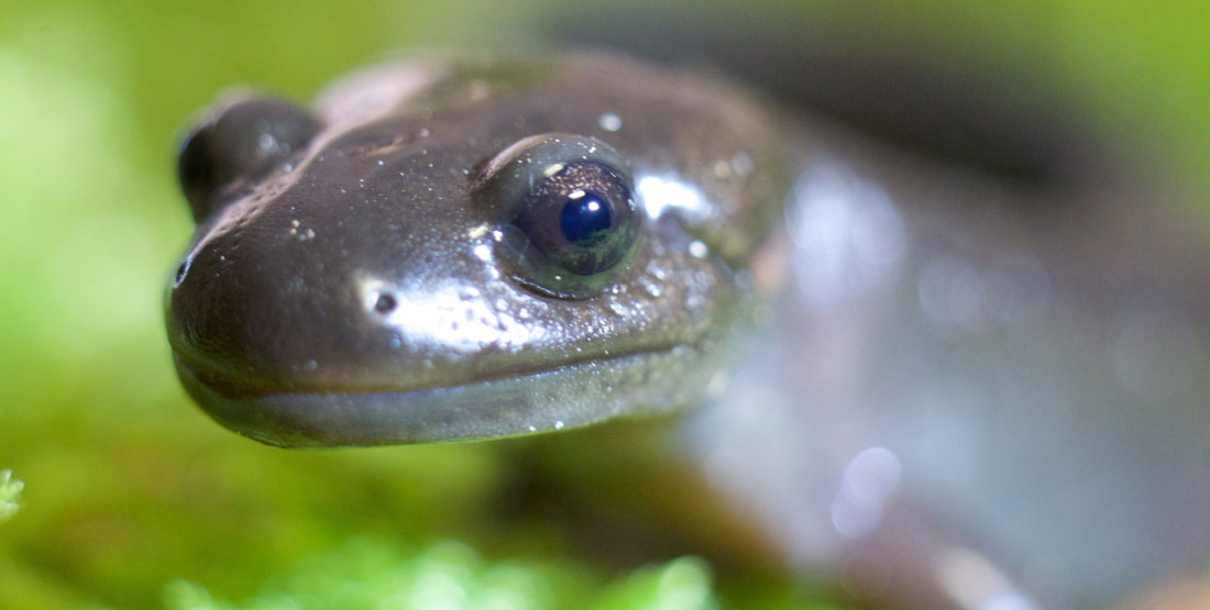 A close up of a northwestern salamander's head