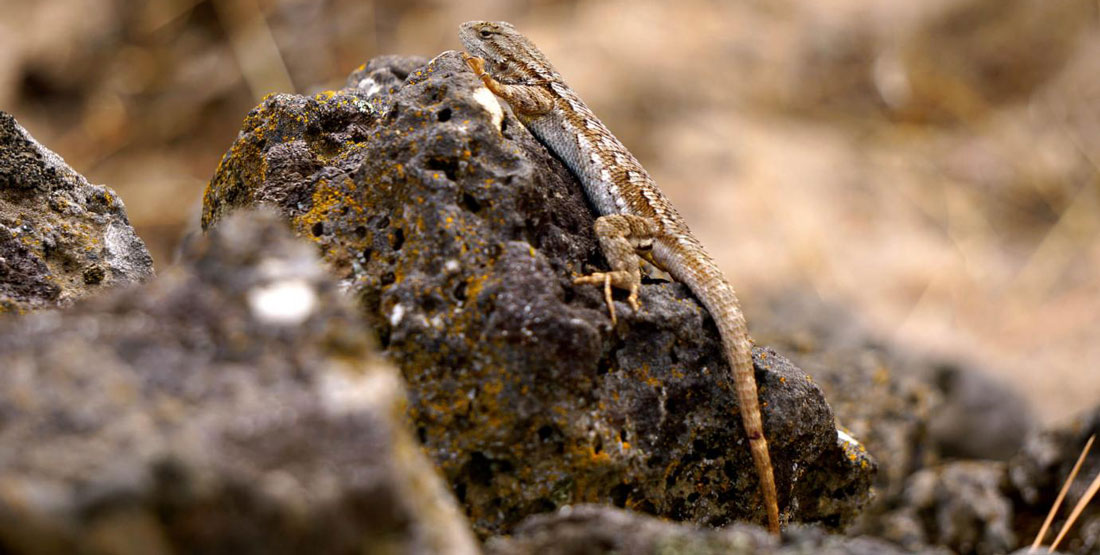 A yellow and white Western Fence Lizard climbs a rock