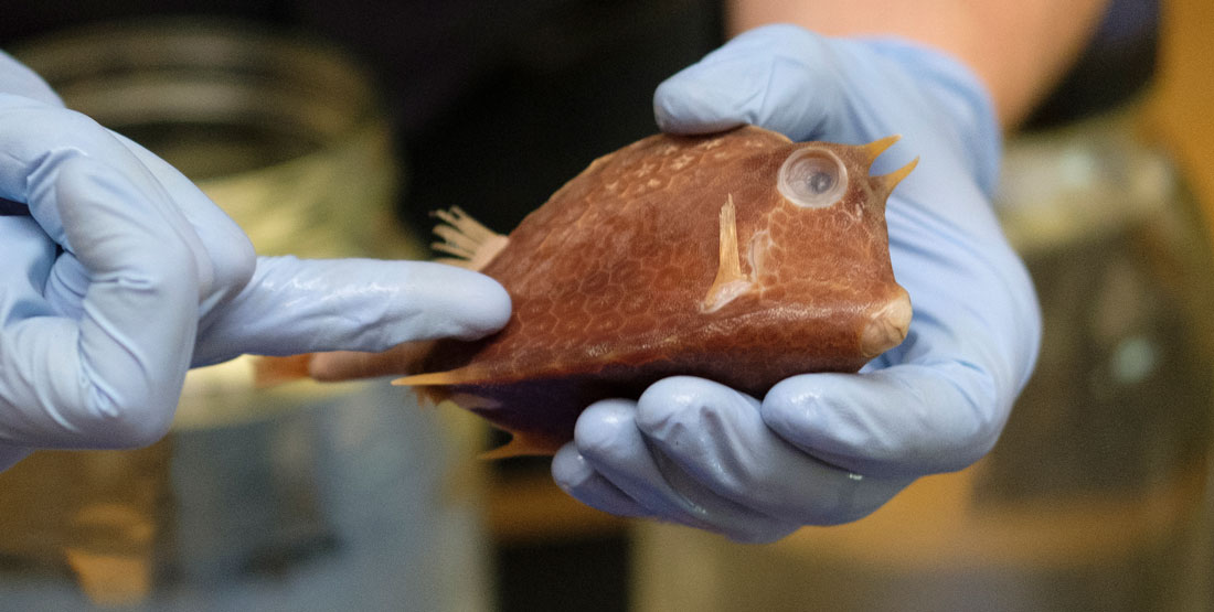 a small preserved fish being held by gloved hands