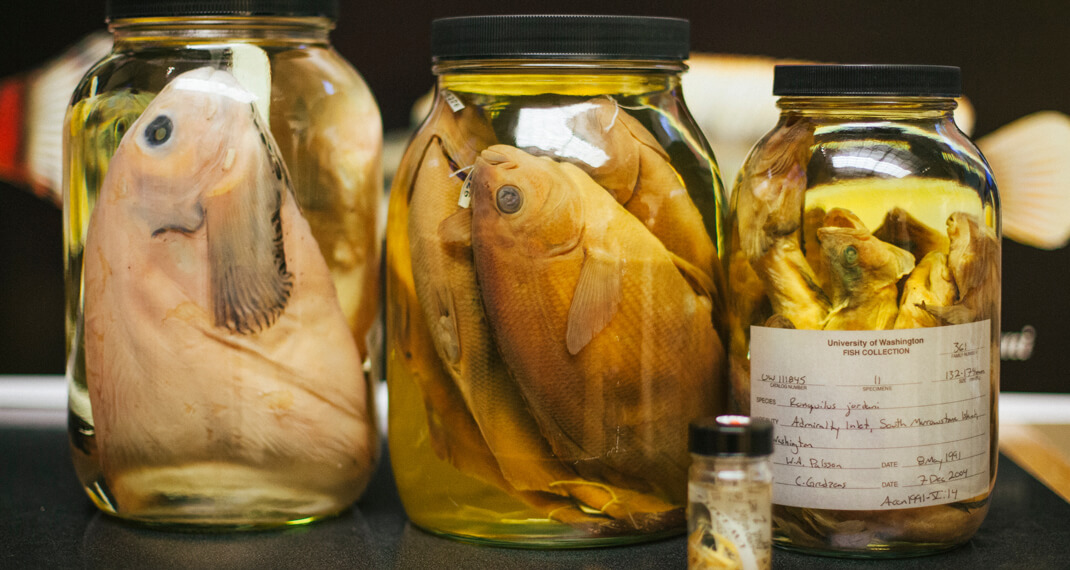 three glass jars filled with preserved fish specimens