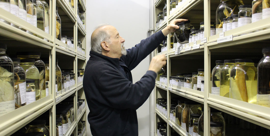 a man reaches for a glass jar containing a preserved anglerfish specimen in the fish collection