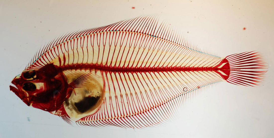 A stained flatfish specimen