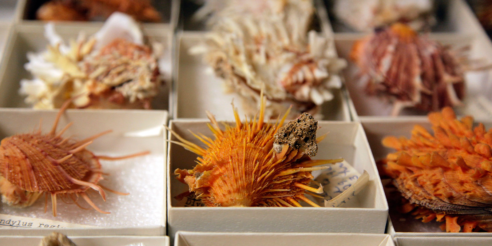 Orange and white carrier shells in the mollusc collection