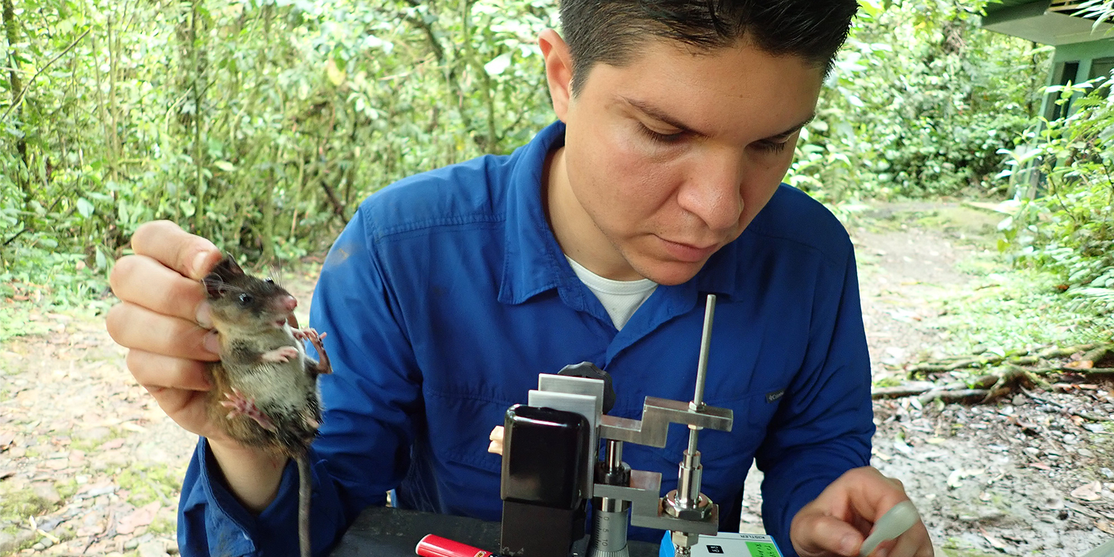 David Villalobos measuring bite force of a Talamancan Deermouse.