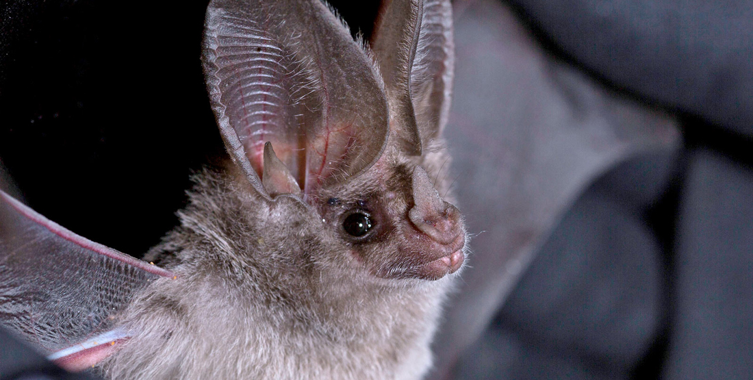 A small furry bat with very large ears