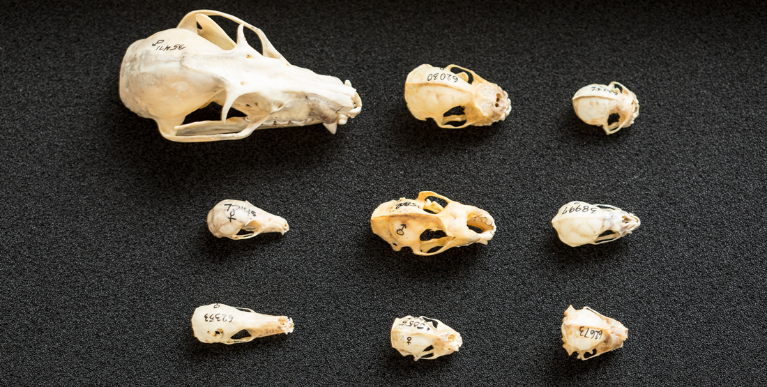 9 bat skulls lined up in rows to compare size, anatomy