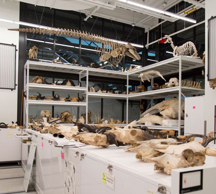 wide shot of the mammalogy collections share showing shelves of mounted and some stuffed mammals