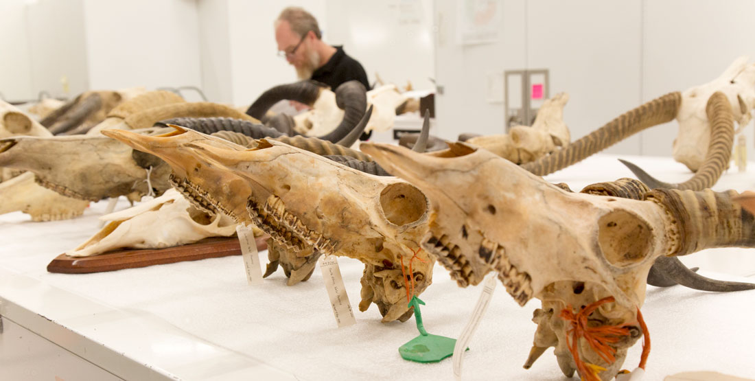 a row of large mammal skulls with a man working in the background