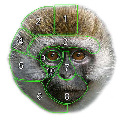 a monkeys face with diagram overlays in various segments