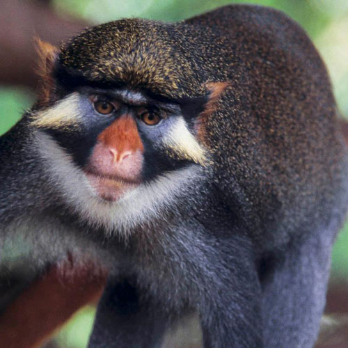 a monkey with a brightly-colored face and nose