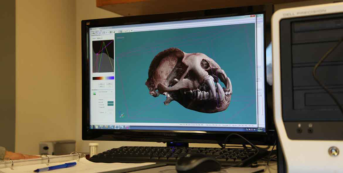 A 3D scan of a bat skull on a computer monitor
