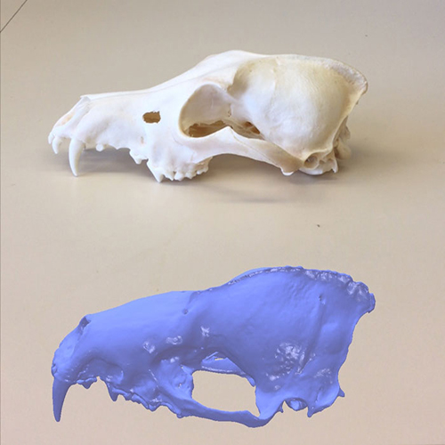 A comparison of a virtual bat skull scan next to the actual bat skull that was used to create the scan