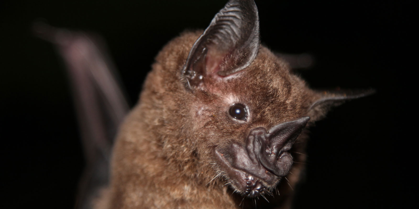 A close up view of the greater spear-nosed bat