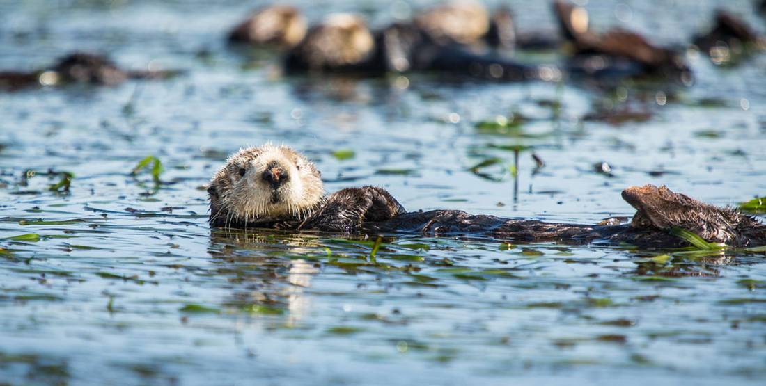 A sea otter on its back floating in the water