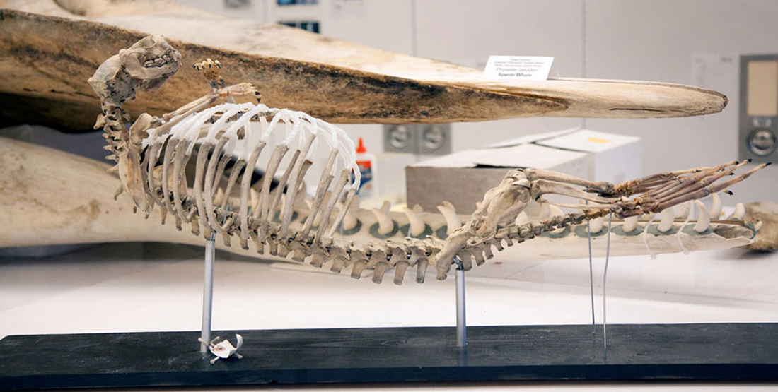 An articulated sea otter skeleton on display