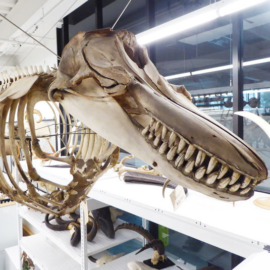 whale skeleton in mammals collection storage