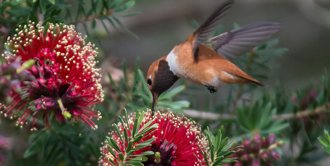 rufous hummingbird pollinating a red flowering plant